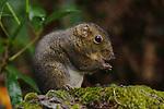 Bornean Mountain Ground Squirrel (Dremomys everetti). Montane forests (at 2200m asl), slopes of Mt Kinabalu. Kinabalu Park, Sabah, Borneo.