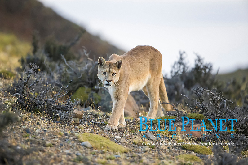 Puma (Puma concolor) adult, walking, Torres del Paine National Park, Patagonia, Chile, South America