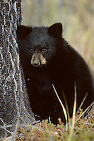 Very young black bear cub (Ursus americanus), Fall, Rocky Mts.