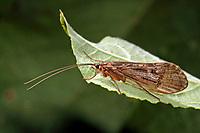 Köcherfliege, Halesus radiatus, Köcherfliegen, caddisfly, sedge-fly, rail-fly, caddisflies, sedge-flies, rail-flies, Trichoptera