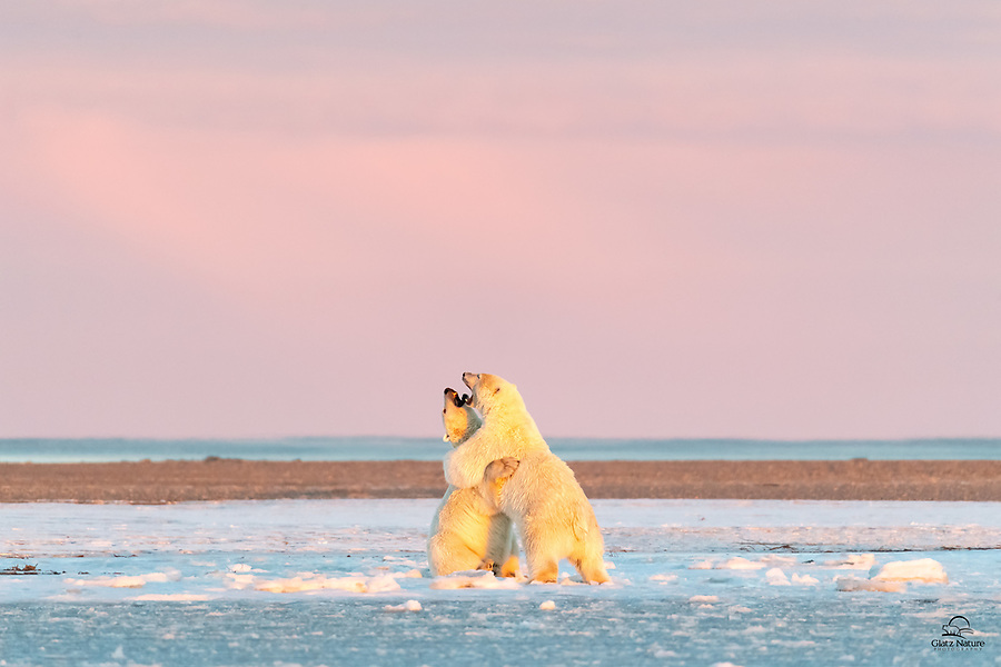 Two male Polar Bears (Ursus maritimus) wrestle in the soft Arctic morning light. The bear in front was hanging out on a spit of land across the bay as we boarded our boat at dawn. It was almost like he couldn't wait for his photo shoot. After hamming it up for us for over an hour, he walked the shore and connected with his buddy. Here they are play fighting. Not serious, but the size, agility and power of these Bears is amazing. Sometimes they even draw blood.