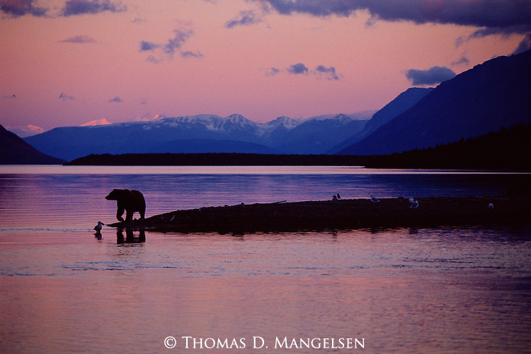 Rosy sunsets are not common on the coast of Naknek Lake, where much of the year this finger of land is shrouded in fog and rain. An icon of Alaska, the brown bear completes the scene.