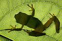 Madagascar Reed Frog {Heterixalus madagascariensis} silhoutted on backlit leaf in tropical rainforest. Masoala Peninsula National Park, north east Madagascar.