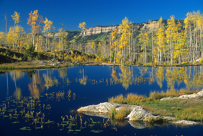Aspen Trees, Beaver Pond, Lime Creek Road near Durango, Colorado