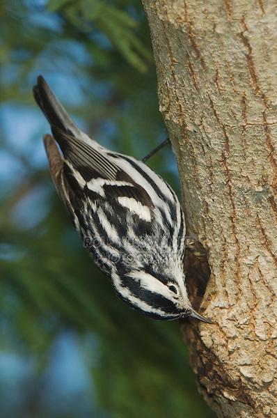 Black-and-White Warbler, Mniotilta varia, male, South Padre Island, Texas, USA