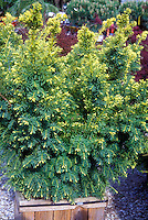 Taxus cuspida Dwarf Bright Gold in wooden container