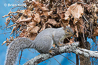 MA23-519z  Gray Squirrel at Nest in the tree branches, Sciurus carolinensis, © Brian Kuhn/Dwight Kuhn Photography
