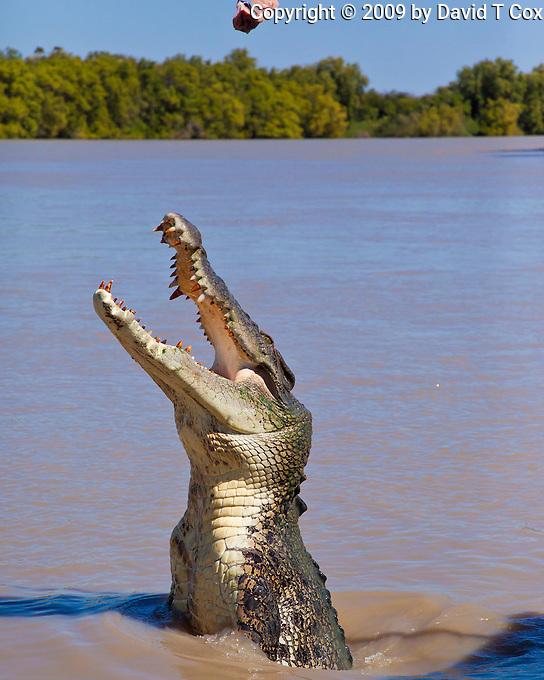 "Saltwater ""jumping crocs"", Adelaide River Queen Cruise, NT, Australia"