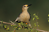 Golden-fronted Woodpecker, Melanerpes aurifrons,male on Desert Hackberry (Celtis pallida), Willacy County, Rio Grande Valley, Texas, USA