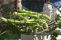 green Beans in the vegetable garden picked and held in a metal wire basket Clos des Iles Le Brusc Six Fours Cote d'Azur Var France