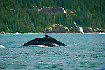 Whale, Tracy Arm-Frods Terror Wilderness, Tongass National Forest, Southeast, Alaska, USA