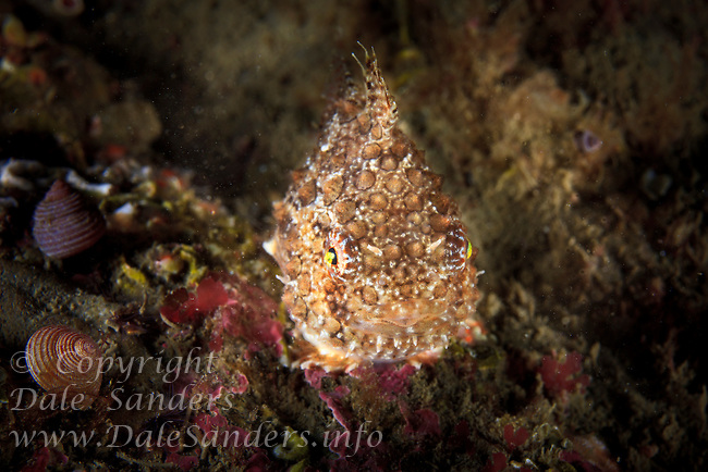 Pacific Spiny Lumpsucker( Eumicrotremus orbis), underwater off southern Vancouver Island, British Columbia, Canada.