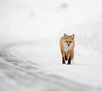 A single red fox slowly trots up Yellowstone National Park's North road in the winter.