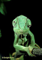 CH05-001z  African Chameleon - with eyes rotating separately - Chameleo senegalensis
