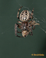 0723-06yy   Furrow spider - Nuctenea cornuta © David Kuhn/Dwight Kuhn Photography