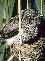 Kuckuck, Jungvogel, Küken im Nest eines Teichrohrsänger, Küken ist bereits größer als das Wirtsnest, Brutparasitismus, Cuculus canorus, Cucullus canorus, cuckoo