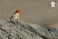 Lava Lizard (Microlophus albemarlensis) on lava rock (Licence this image exclusively with Getty: http://www.gettyimages.com/detail/73013991 )