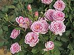 Blue Girl Rose bush, Rosa hybrid tea