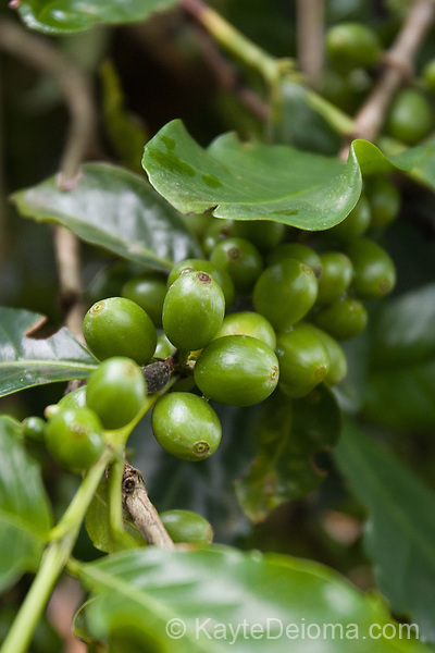 Coffee beans growing at the Old Mill House Coffee Experience, Santa Catarina, Brazil