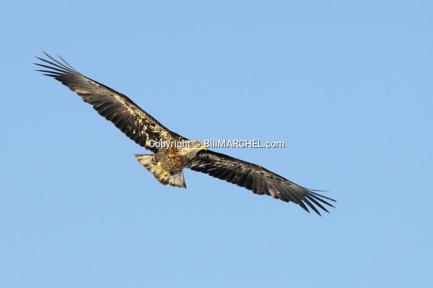 00370-016.07 Bald Eagle immature bird is in flight against a blue sky.  Hunt, raptor, bird of prey, symbol, talon, scavenger.