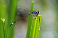 Große Pechlibelle, frisst eine andere Libelle, Beute, Pech-Libelle, Ischnura elegans, common ischnura, blue-tailed damselfly, Common Bluetail, Agrion élégant