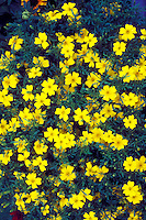 Tagetes 'Lemon Gem' Signet Marigold in yellow bloom with lots of annual flowers