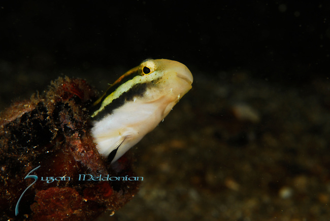 Fang Blenny -Shorthead Fangblenny, Petrocirtes  breviceps, Lembeh Straits, Sulawesi Sea, Indonesia, Amazing Underwater Photography
