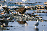 Bald eagle feeding, Chilkat River, Alaska