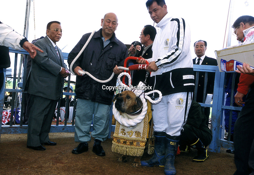 A champion fighter Tosa, or Yokozuma, is being awarded and honored in Nagasaki, Japan. The decorative silk rope and armor is worth US$30,000. The man in the grey suit is a high ranking Yakuza (Japanese gangster), heavily involved in Tosa dog fighting..