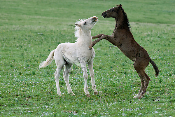 Wild Horse or feral horse (Equus ferus caballus) colts playing.  Western U.S., summer.
