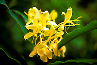 Yellow ginger flowers, used in leis