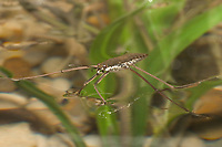 Water Strider (Gerris marginatus) Also called a water skipper or pond skater. (c) (do)