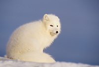 Arctic fox (Vulpes lagopus), adult in winter coat, Churchill, Manitoba, Canada