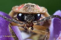 1C24-739z  Pyralis Firefly - Lightning Bug - Closeup of face and head - Photinus spp.