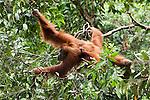 Orang Utans (Pongo abelii) in the rainforest of Sumatra, Indonesia, Asia