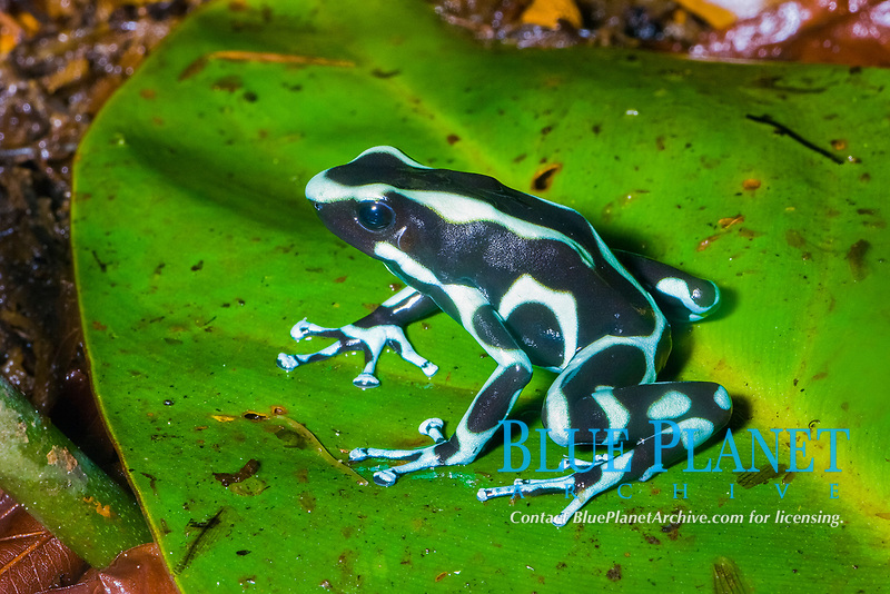 Green and Black Poison Dart Frog (Dendrobates auratus) Range: Central and South America. (c)