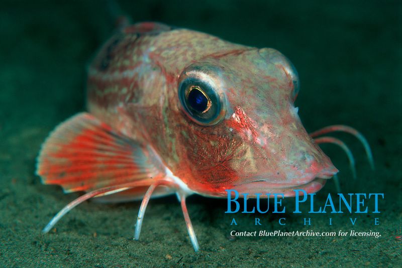 Yellow Gurnard, Triglia lucerna, Vaksdal, Hordaland, Norway, North Atlantic Ocean