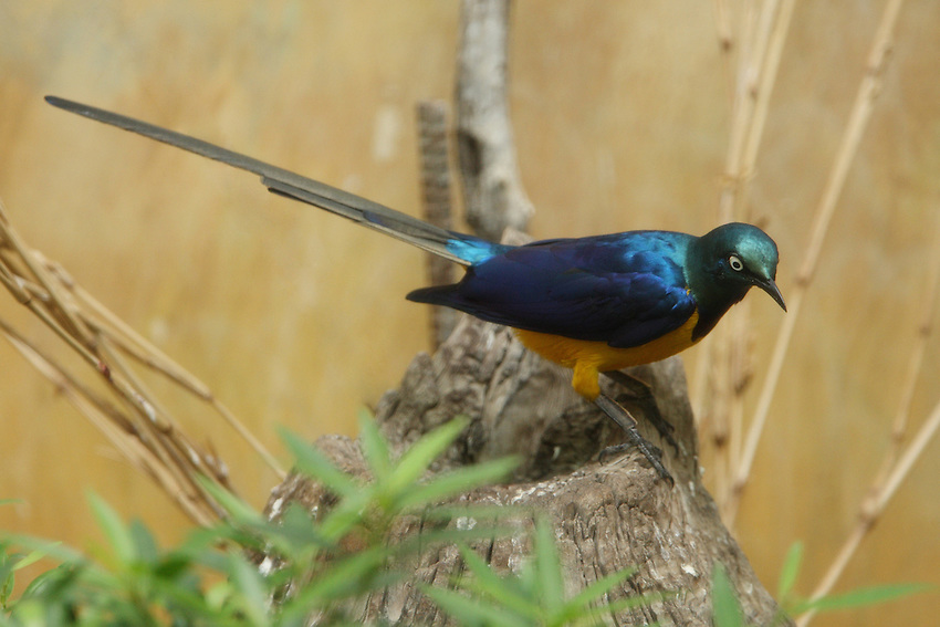 The Long-tailed Glossy Starling, Lamprotornis caudatus, is a member of the starling family of birds. It is a resident breeder in tropical Africa from Senegal east to Sudan.