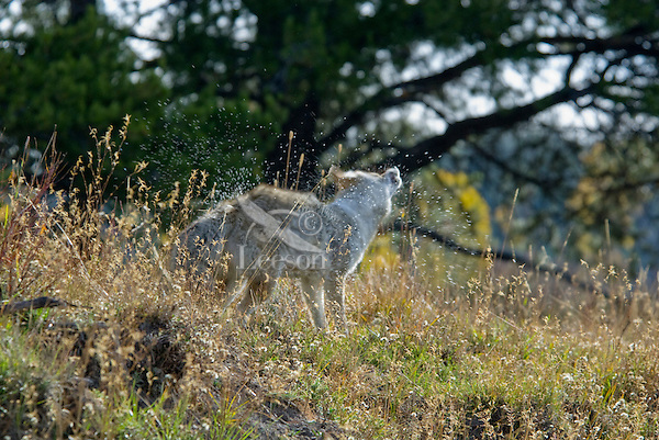 Coyote (Canis latrans) shaking off water (recently had crossed stream).  Western U.S., fall.