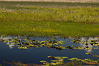 Wocus (Native American name for Rocky Mountain Pond Lilies/Yellow Pond Lilies) in Klamath Marsh National Wildlife Refuge, Oregon.