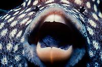 Guineafowl Pufferfish, Arothron meleagris, Cocos Island, Costa Rica, Pacific Ocean