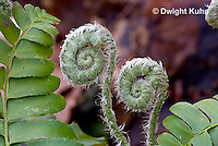 FE04-504z Christmas Fern Fiddleheads emerging and unfolding, Polystichum acrostichoides