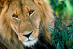 Battle scars reveal a lifetime of stories for this symbol of the African plains, the majestic African lion.