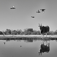 Despite being the world's largest antelope, the eland can still be intimidated by elephants at the watering hole.<br /> <br /> This image is also available in color.
