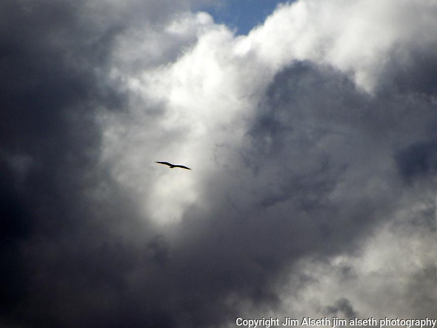 This osprey soars high over beautiful Fish Lake Alberta near Nordegg.