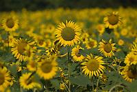 A sunflower in a farm field near Lewis Center, Ohio.<br />