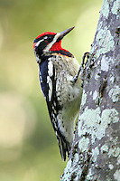 Adult male red-naped sapsucker. This is a western species and is not common in Texas, but this bird has made it all the way east to Galveston.