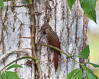 Ivory-Billed Woodcreeper