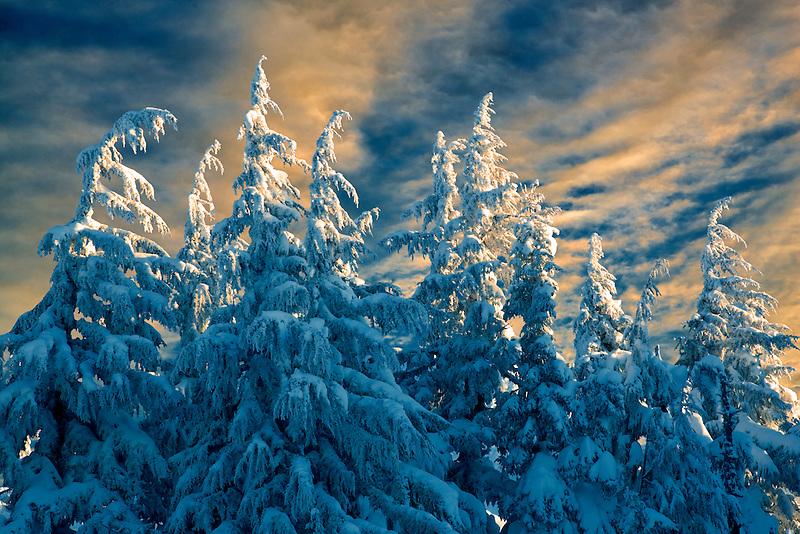 New snow on trees. Mt. Hood, Oregon