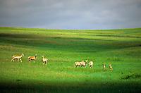 Herd of pronghorn on grassy plains at Oglala National Grasslands, Sioux County, Nebraska, AGPix_0675.